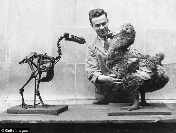 A scientist holds up a reconstructed model of the dodo (right) next to a skeleton of the extinct bird in 1938. The flightless bird went extinct in the late 1600s
