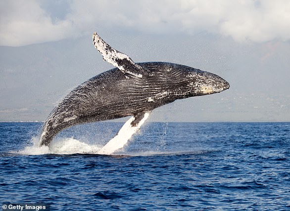 Researchers have recorded humpback whales changing their calls when they move to new pastures in order to match the songs of others around them (file photo)